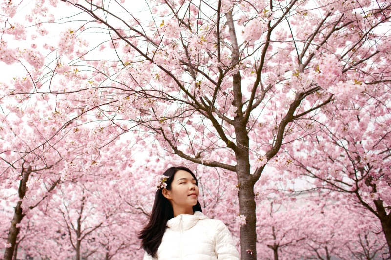Cherry Blossoms during Korean spring time in Korea - Usually shows on Korean drama
